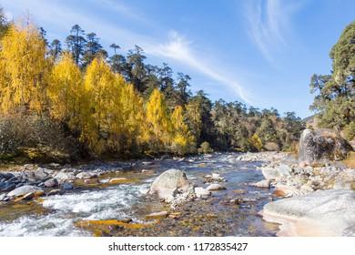 Larch trees show autumn colours on the Merak-Sakteng trek in Bhutan