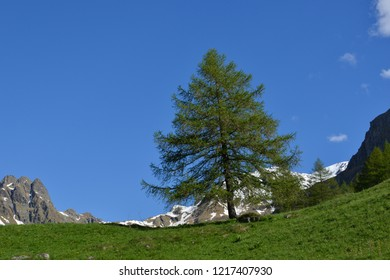 Larch in Valle di Cané in front of a blue sky on green grass