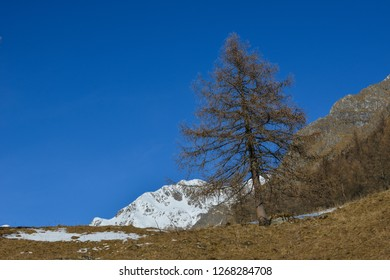Larch in Winter in front of snowy mountains and a blue sky in Valle di Cané