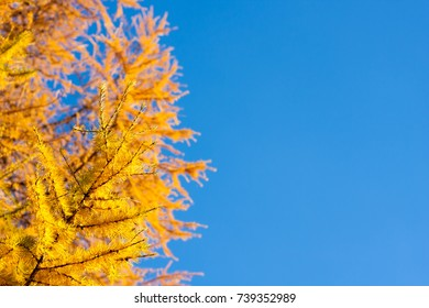 larch with yellow needles with clear blue sky on background with copyspace