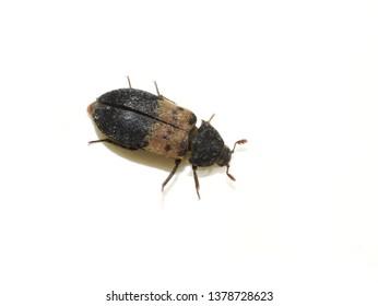 The larder beetle Dermestes lardarius isolated on white background