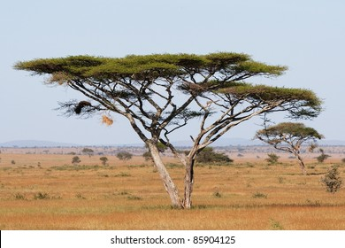 Umbrella Thorn Acacia Images Stock Photos Vectors Shutterstock