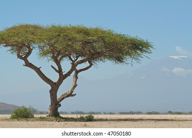 Large acacia tree with Kilimanjaro in the background