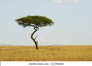 Large Acacia tree in the open savanna plains of Masai Mara,Kenya