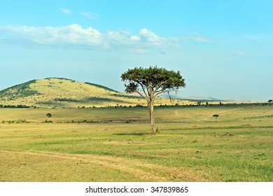 Large Acacia tree in the open savanna plains of the Masai Mara