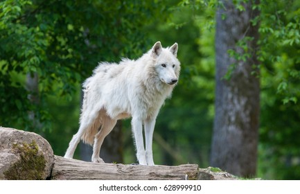 Large adult arctic wolf in the forest