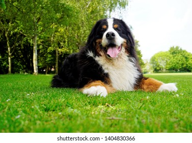 Large adult Bernese Mountain Dog lying on the green grass in the dog friendly park,panting, mouth open.