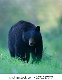 Large adult Black Bear in natural habitat - a wild, free bear, not one that is raised in captivity