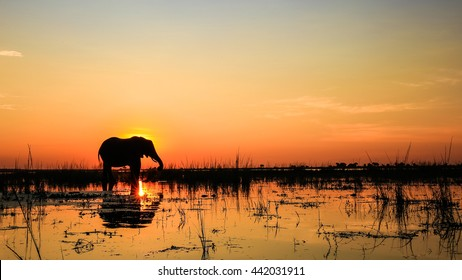 Large adult elephant playing in river at sunset with reflection in water