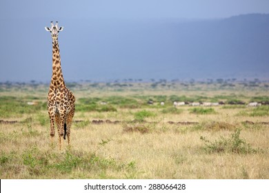 Large adult Giraffe in Kenya isolated against a blue mountain looking at the camera
