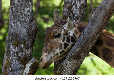 A large adult giraffe scratching its head on the trunk of an oak tree with a blurred green spring background.