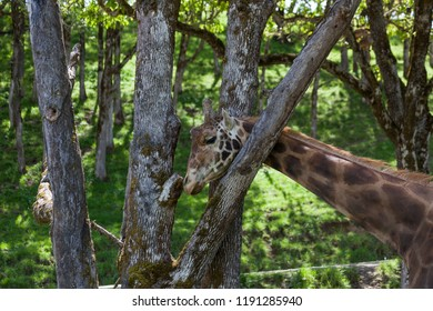A large adult giraffe scratching its neck on an oak tree in the woods with green spring grass.