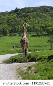 A large adult giraffe standing on a road in a drive through safari in the sunshine in spring.
