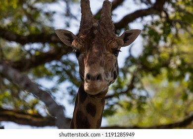 A large adult giraffe standing in soft light from sunshine filtering through spring oak trees.