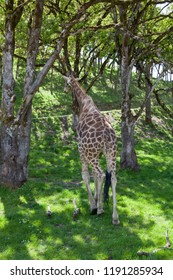 A large adult giraffe walking away into oak trees on spring grass in the sunshine.