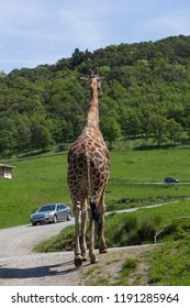 A large adult giraffe walks up a road in a safari park while vehicles drive through on a sunny day in spring.