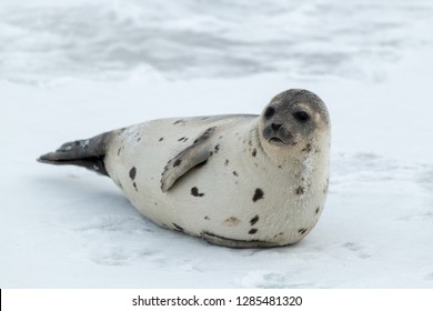 A large adult harp seal with a light color coat and dark spots. The seal is propped up on the ice looking attentively.The dark eyed, earless, and long whiskered saddleback has a large belly of blubber