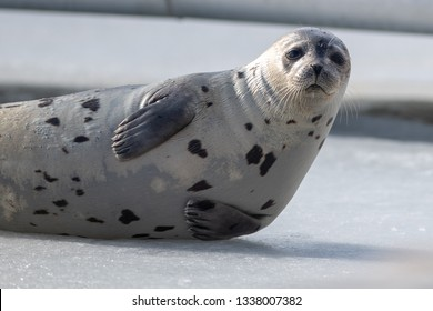 A large adult harp seal pokes it head up and tucks its front flippers in while looking straight ahead. The seal is lying on  a large pan of ice with open water in the background.
