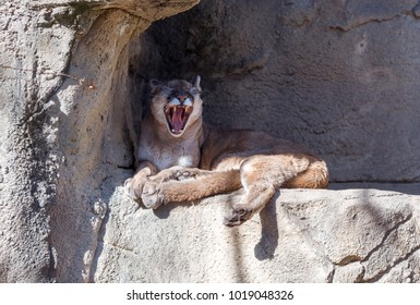 Large adult puma laying under a rock