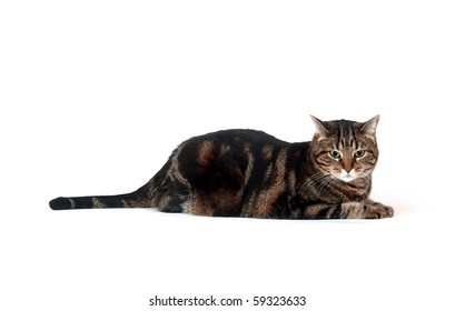 Large adult tabby cat sitting on white background