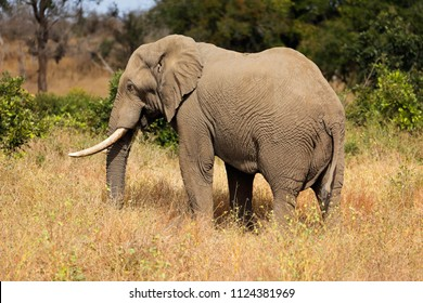 Large African bull elephant (Loxodonta africana), Kruger National Park, South Africa
