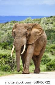Large African elephant bull (Loxodonta africana), Addo Elephant National park, South Africa.
