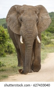 Large African Elephant with long trunk and big ears