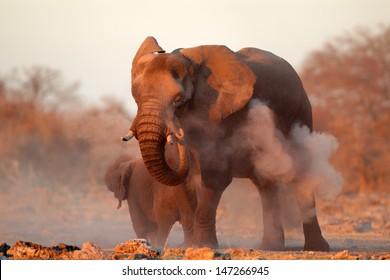 Large African elephant (Loxodonta africana) covered in dust, Etosha National Park, Namibia