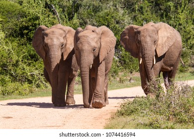 Large african elephants walking along a gravel road in a national park in south africa