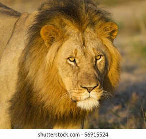 Large African lion close-up
