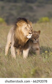 A large African lion and lioness share a close touch.