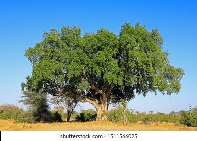 Large African sycamore fig tree (Ficus sycomorus), Kruger National Park, South Africa
