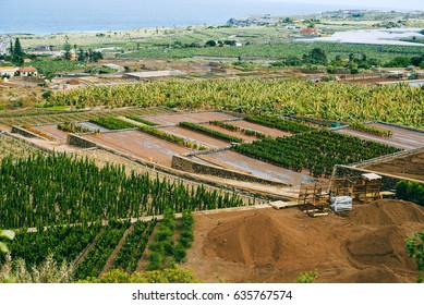 A large agricultural farm where people grows various tropical fruits and cacti in the Canary Islands, Spain