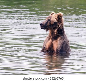 Large Alaskan brown bear in a lake in Katmai National Park