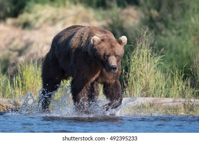 Large Alaskan brown bear running through shallow water in Brooks River in Katmai National Park, Alaska.