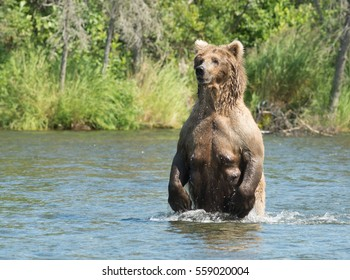 Large Alaskan brown bear sow on hind legs in the water of Brooks River in Katmai National Park, Alaska