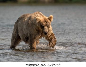 A large Alaskan brown bear wades through the Brooks river searching for sockeye salmon in Katmai National Park, Alaska