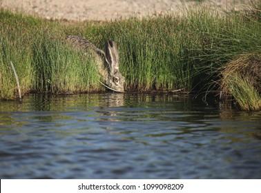 Large alert desert jackrabbit with watchful bright eye drinking pond water