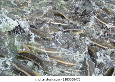 Large alive Cobia fish feeding frantic in aquaculture pond