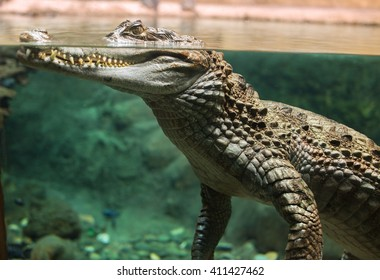 Large alligator head underwater and above