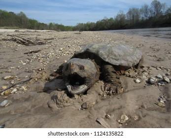 "Large Alligator snapping turtle ""Macrochelys temminckii"" on rocky sandbar"