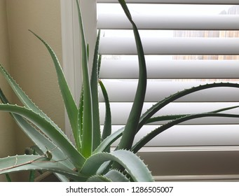Large aloe plant in window.