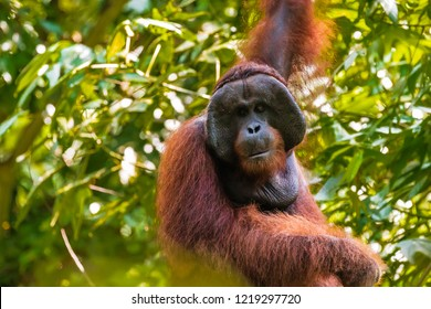 Large alpha male Orangutan in the jungle of Borneo