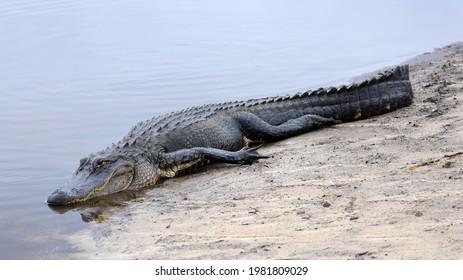 large american alligator resting on the shoreline of a  creek in st. mark's wildlife refuge  near crawfordville in northern florida