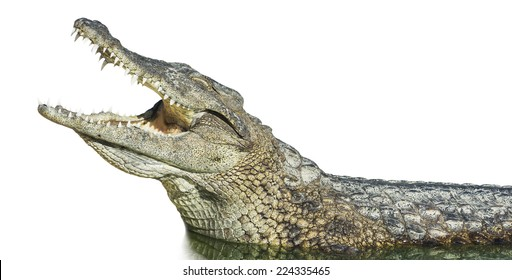 large American crocodile with open mouth on an isolated white background