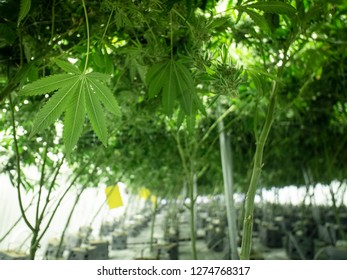 Large Amounts of Cannabis Growing in Warehouse