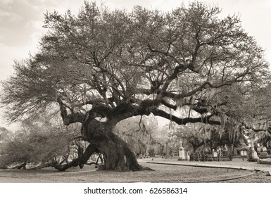 Large ancient live oak tree leans over in a southern cemetery in Charleston, SC, USA. Black and white image.