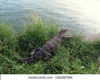 Large (and fat) monitor lizard entering the water (from grass bank). Taken in Lumpini Park, Bangkok (Thailand).
