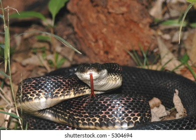 A large and angry black ratsnake flicks it's tongue.