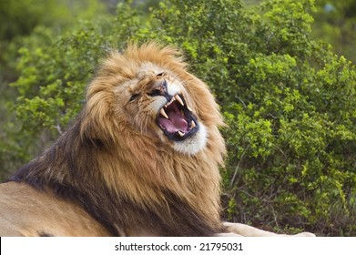 A large and angry lion snarls at the photographer